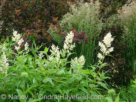 Persicaria polymorpha with Calamagrostis x acutiflora 'Stricta' and Physocarpus opulifolius 'Center Glow' at Hayefield