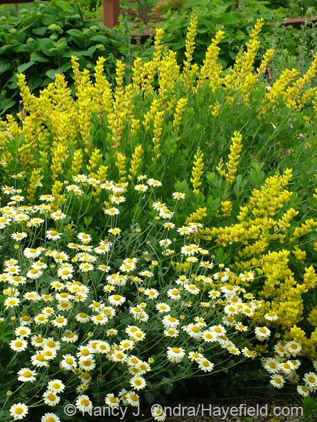 Baptisia sphaerocarpa 'Screamin' Yellow' with Anthemis 'Susanna Mitchell' at Hayefield