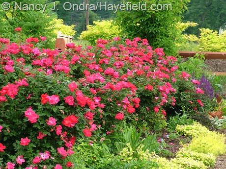 Rosa 'Radrazz' (Knock Out) with Sedum 'Angelina', Origanum vulgare 'Aureum', and Sambucus nigra 'Aurea' at Hayefield