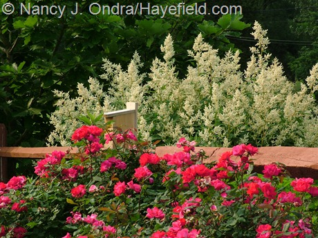 Rosa 'Radrazz' [Knock Out] with Persicaria polymorpha at Hayefield