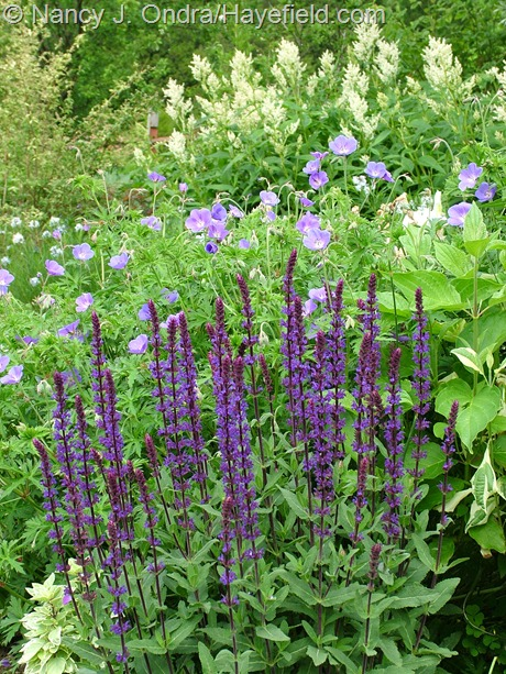 Salvia 'Caradonna' with Geranium 'Brookside' and Persicaria polymorpha at Hayefield