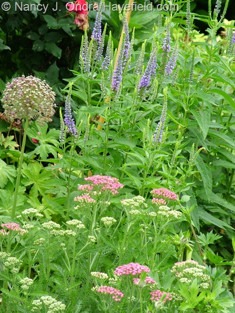 Achillea 'Pink Grapefruit' with Veronica grandis at Hayefield
