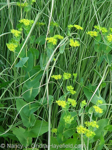 Bupleurum rotundifolium with Miscanthus sinensis 'Morning Light' at Hayefield