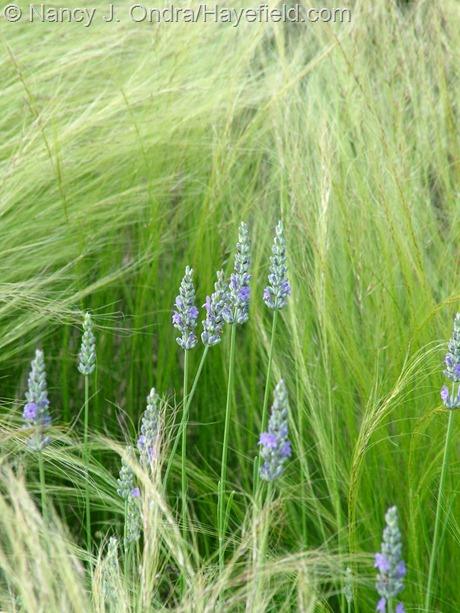 Stipa tenuissima with Lavandula x intermedia 'Provence' at Hayefield