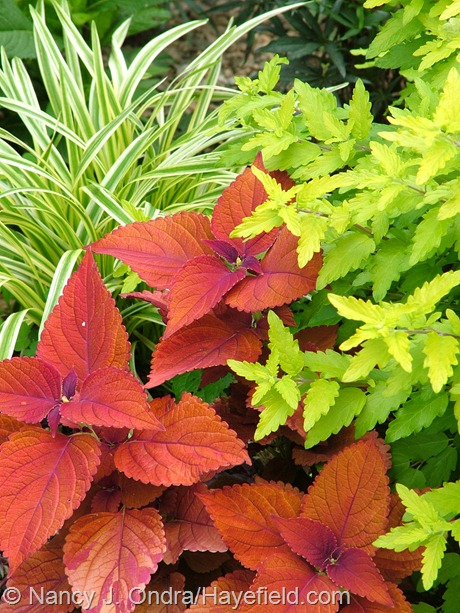 Solenostemon (Coleus) 'Sedona' with Caryopteris incana 'Jason' [Sunshine Blue] and Liriope muscari 'Variegata' at Hayefield