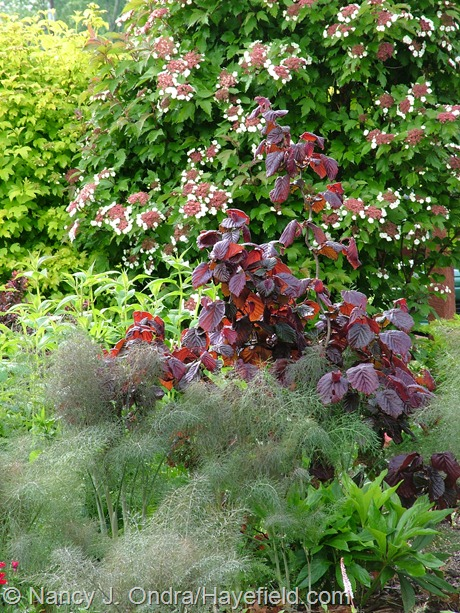 Corylus avellana 'Red Majestic' with Foeniculum vulgare 'Purpureum' and Viburnum sargentii 'Onondaga' at Hayefield