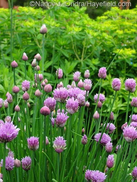 Allium schoenoprasum at Hayefield