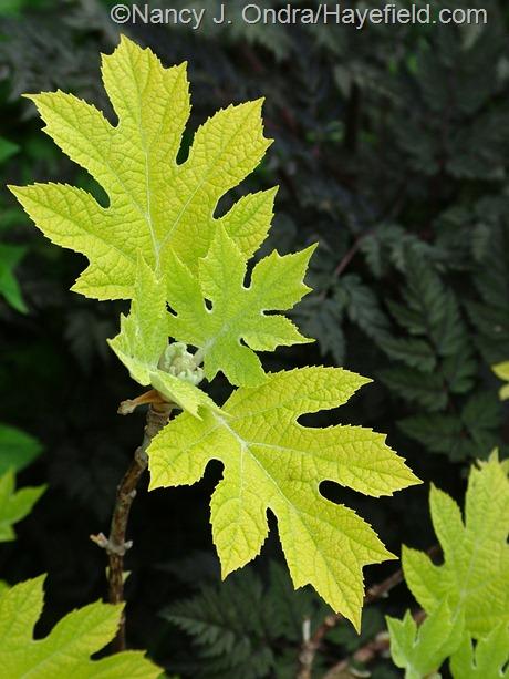 Hydrangea quercifolia 'Little Honey' at Hayefield