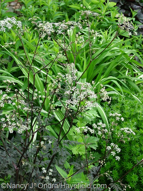 Anthriscus sylvestris 'Ravenswing' at Hayefield