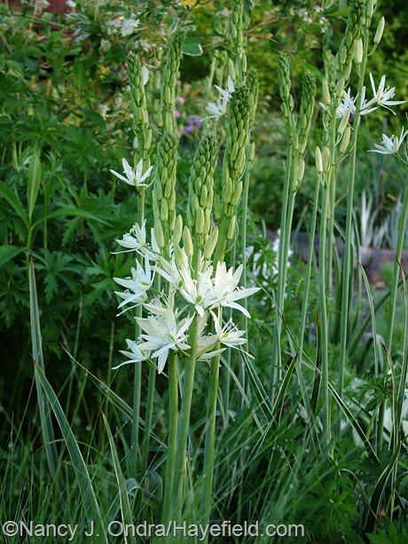 Camassia leichtlinii 'Sacajawea' at Hayefield