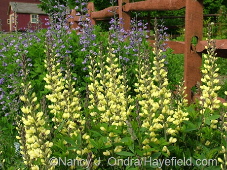 Baptisia 'Carolina Moonlight' and 'Purple Smoke' at Hayefield