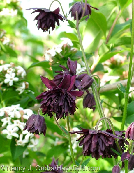 Aquilegia vulgaris 'Black Barlow' at Hayefield