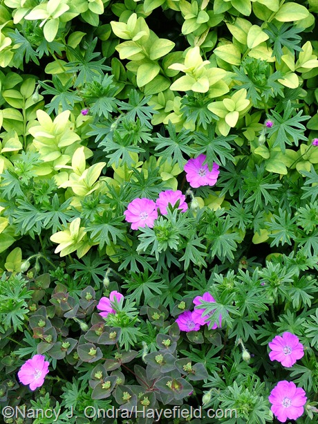 Geranium sanguineum 'New Hampshire Purple' with Euphorbia dulcis 'Chameleon' and Buxus sempervirens 'Latifolia Maculata' at Hayefield