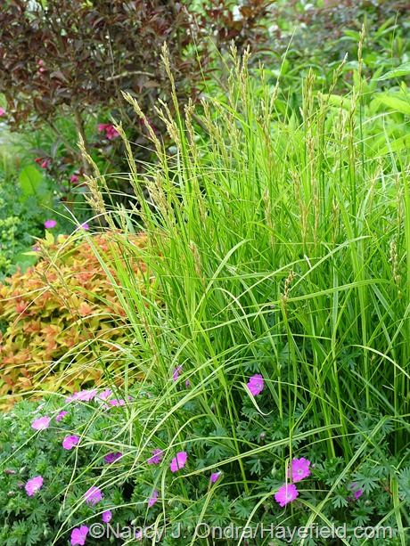 Carex muskingumensis 'Oehme' with Geranium sanguineum 'New Hampshire Purple' at Hayefield
