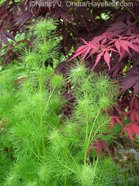 Nigella damascena against Acer palmatum (unknown selection) at Hayefield