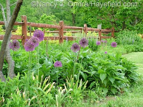 Allium 'Purple Sensation' in TDF Border at Hayefield