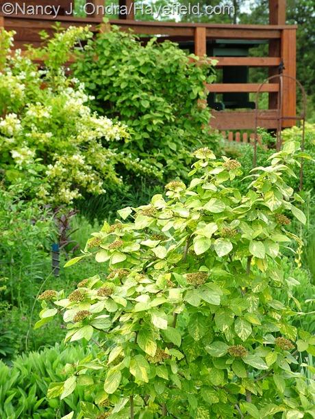 Viburnum lantana 'Variegatum' at Hayefield