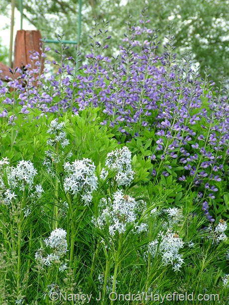 Baptisia 'Purple Smoke' with Amsonia hubrichtii at Hayefield