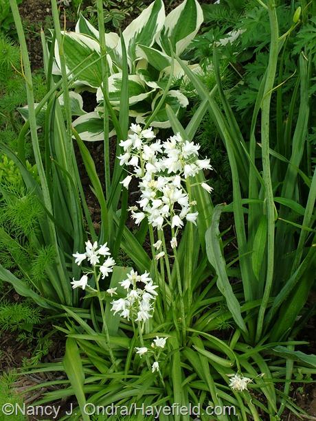 Hyacinthoides hispanica 'Alba' at Hayefield
