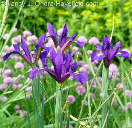 Iris 'Rendezvous' at Hayefield