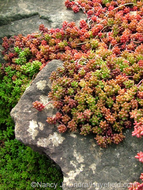 Sedum stefco at Hayefield