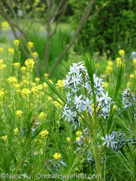 Amsonia hubrichtii with Barbarea vulgaris 'Winter Cream' at Hayefield