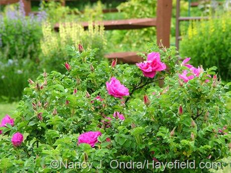 Rosa rugosa 'Apart' at Hayefield