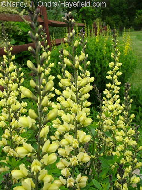 Baptisia 'Carolina Moonlight' at Hayefield