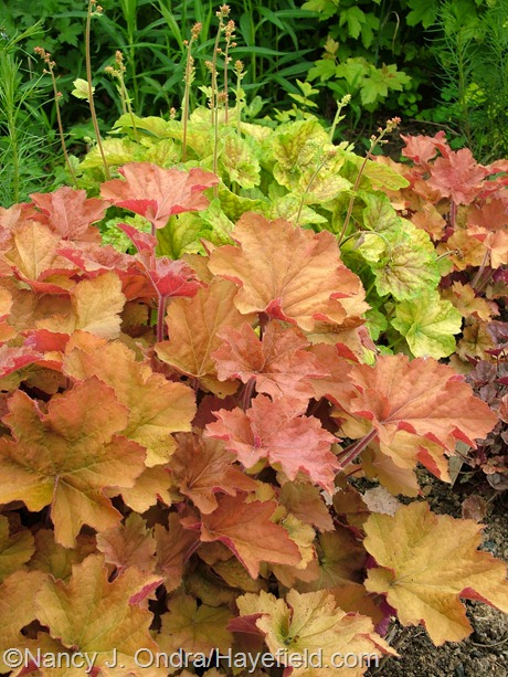 Heuchera villosa 'Caramel' against 'Tiramisu' at Hayefield