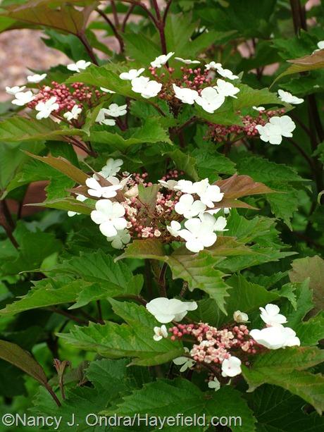 Viburnum sargentii 'Onondaga' at Hayefield
