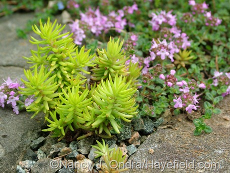 Sedum rupestre ('Angelina' seedling) with Thymus serpyllum at Hayefield