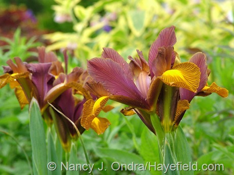 Dutch iris 'Lion King' at Hayefield