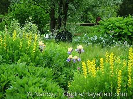 Iris 'Edith Wolford' with Baptisia sphaerocarpa 'Screamin' Yellow' at Hayefield