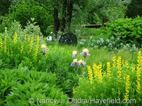 Iris 'Edith Wolford' with Baptisia sphaerocarpa 'Screamin' Yellow' at Hayefield