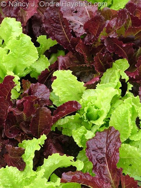 Lettuce 'Red Velvet' and 'Australian Yellow' at Hayefield
