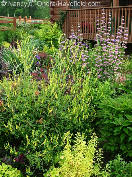 Melilotus officinalis with Phlomis tuberosa 'Amazone' and Spiraea thunbergii 'Ogon' at Hayefield
