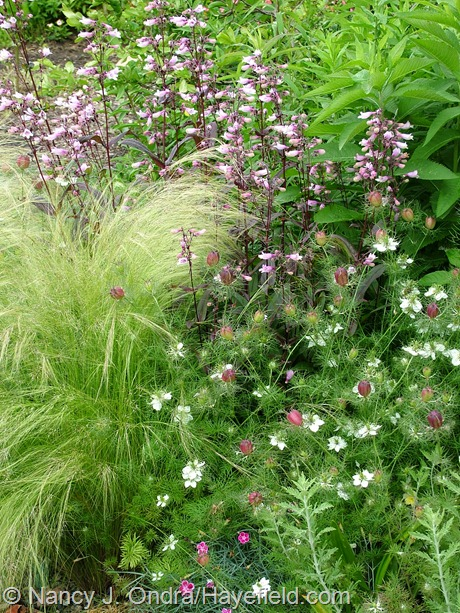 Stipa tenuissima, Penstemon 'Dark Towers' and Nigella 'Cramer's Plum' at Hayefield