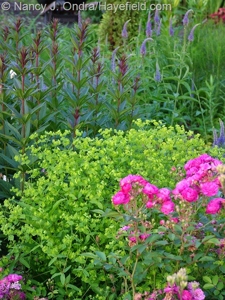 Rosa 'Sweet Chariot', Euphorbia 'Golden Foam', Veronicastrum 'Erica' at Hayefield