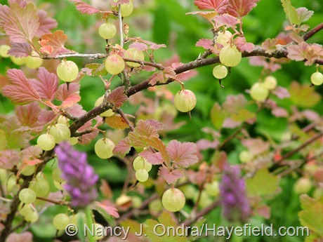 Ribes uva-crispa 'Pixwell' (gooseberry) at Hayefield