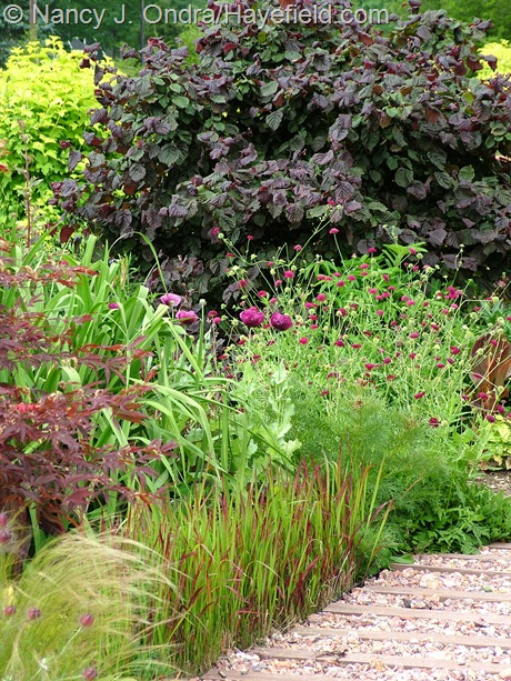 Imperata cylindrica 'Rubra' with Knautia macedonica and Corylus avellana 'Red Majestic' at Hayefield