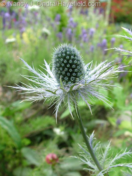 Eryngium x zabelii 'Donard Variety' at Hayefield