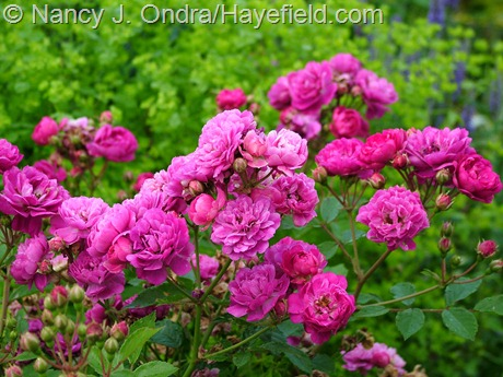 Rosa 'Sweet Chariot' at Hayefield