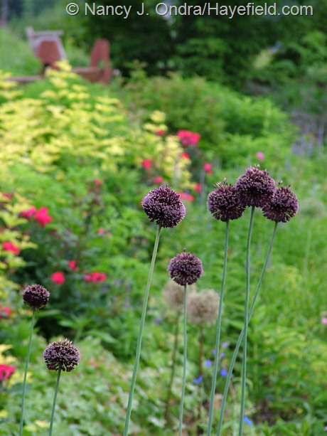 Allium 'Forelock' at Hayefield