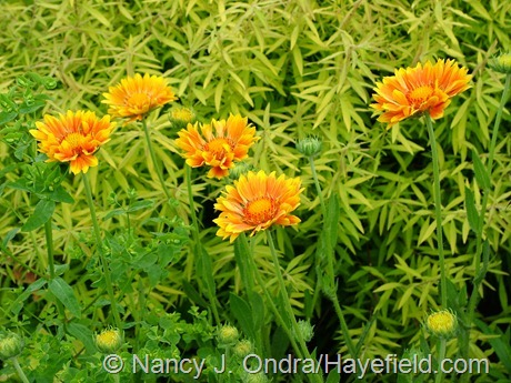 Gaillardia 'Oranges and Lemons' at Hayefield