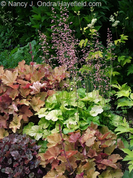 Heuchera 'Miracle' at Hayefield