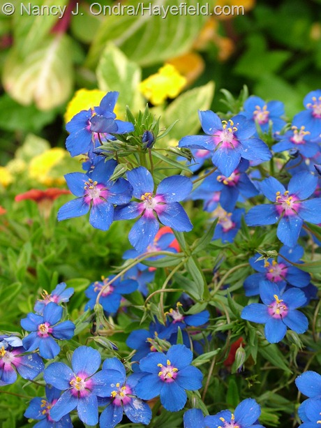 Anagallis monelli 'Angie Blue' at Hayefield