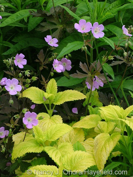 'Espresso' wild geranium (Geranium maculatum) with 'All Gold' lemon balm (Melissa officinalis) at Hayefield