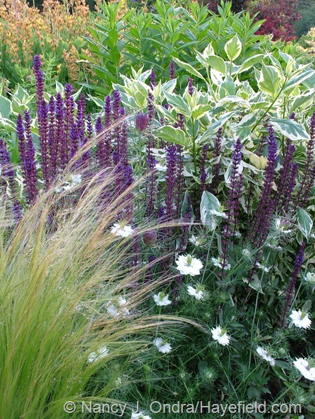 Salvia 'Caradonna' with Stipa tenuissima, Nigella 'Cramer's Plum' and Cornus sericea 'Silver and Gold' at Hayefield
