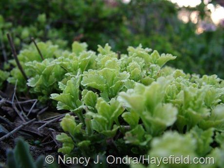 'Summer Sunshine' germander (Teucrium chamaedrys) at Hayefield