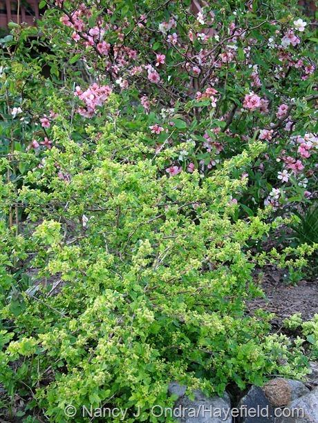 Ribes alpinum 'Aureum' at Hayefield